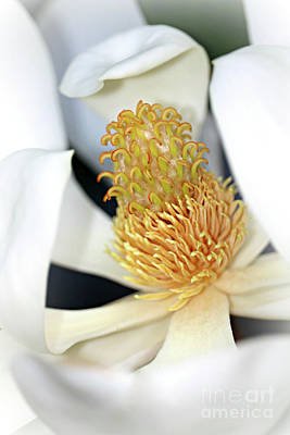 Photograph - Inner Magnolia Macro by Carol Groenen