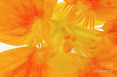 Photograph - Inner Nasturtium by Anne Gilbert