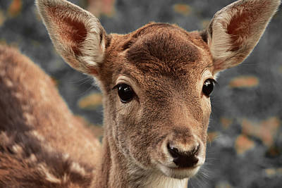 Photograph - Innocent Deer by Mihaela Pater