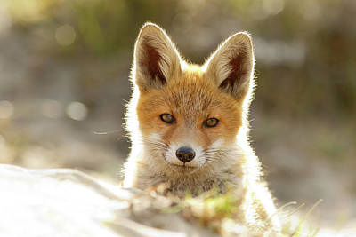 Adorable Photograph - Innocent Eyes - Young Fox Kit by Roeselien Raimond