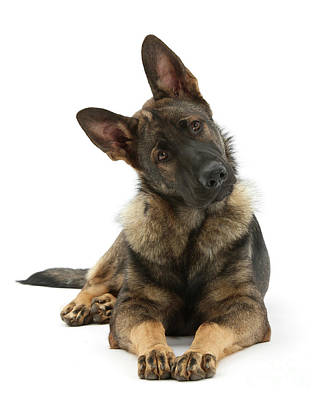 Photograph - Inquisitive Alsatian by Warren Photographic