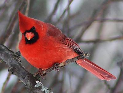 Photograph - Inquisitive Cardinal by Bruce Bley