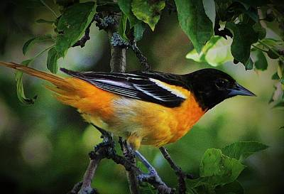Photograph - Inquisitive Oriole by Bruce Bley