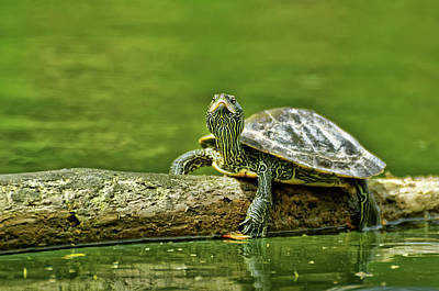 Nirvana - Inquisitive Turtle by Robert Charity