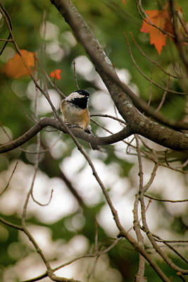 Photograph - Inqusitive Black-capped Chickadee by Onyonet  Photo Studios