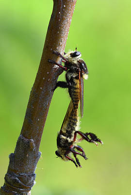 Photograph - Insect Mating by Dung Ma