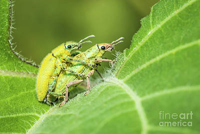Art Print featuring the photograph Insect Mating by Tosporn Preede