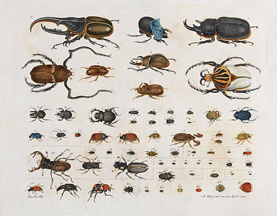 Drawing - Insects. Beetles by Aloys Zotl