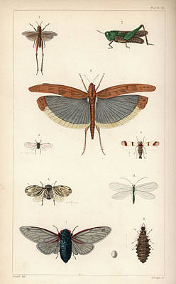 Drawing - Insects, Plate IIi by Antoine Sonrel