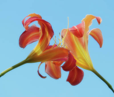 Photograph - Inseparable - Daylily Pair by MTBobbins Photography