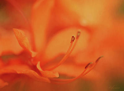 Photograph - Inside A Daylily  by Maria Angelica Maira