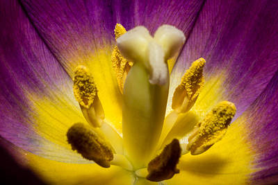 Photograph - Inside A Purple Tulip by Rainer Kersten