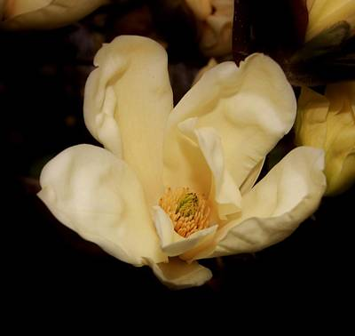 Photograph - Inside A Yellow Magnolia Flower by Karen Silvestri