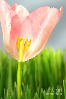 Flower Design Photograph - Inside Of A Pink Tulip by Sandra Cunningham
