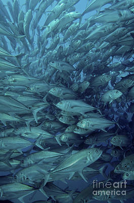 Animals Photos - Inside Of A School Of Jack Fish, Cabo by Brent Barnes