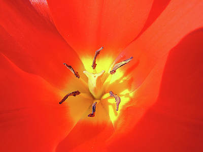 Inside Open Tulip Art Print by Richard Mitchell