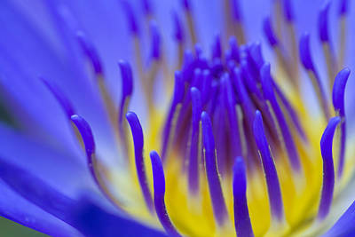 Photograph - Inside The Blue Lotus by Priya Ghose