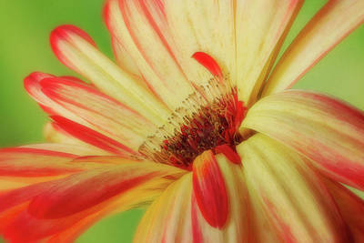 Photograph - Inside The Daisy by Mary Jo Allen