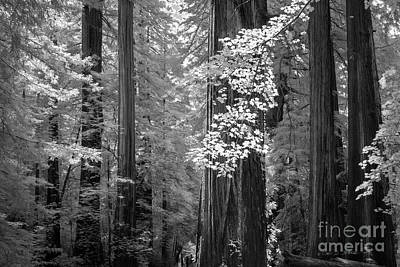 Photograph - Inside The Groves Of The Redwoods by Craig J Satterlee