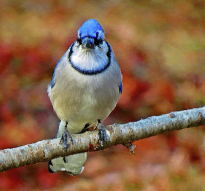 Photograph - Intense Blue Jay Bird - Brush Strokes by MTBobbins Photography