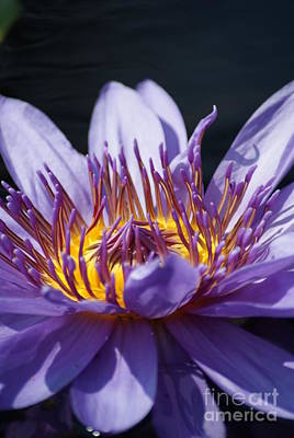 Intense Blue Water Lily   # Art Print by Rob Luzier