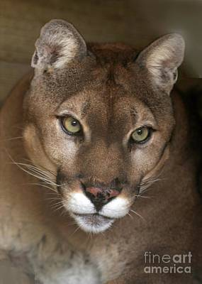Intense Cougar Art Print