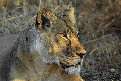 Photograph - Intense Lioness In Botswana by Kay Brewer