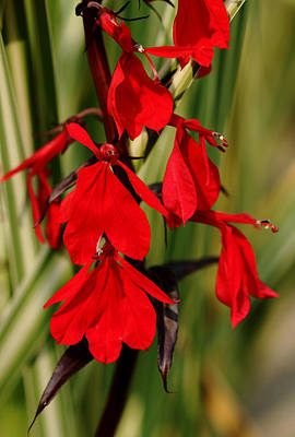 Photograph - Intense Red Lobelia by Debbie Oppermann