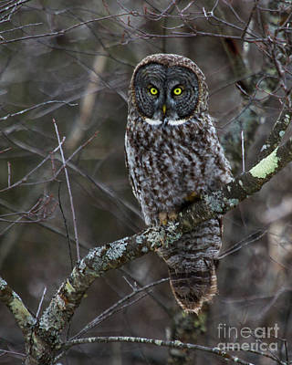 Photograph - Intensity - Great Gray Owl by Lloyd Alexander