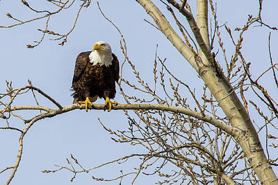 Photograph - Intent Bald Eagle by Shelly Gunderson