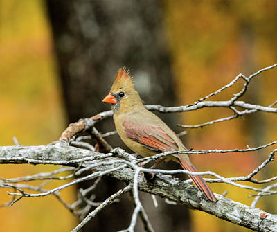 Photograph - Intent Cardinal With An Attitude by Douglas Barnett