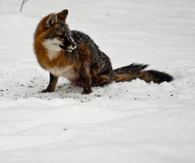 Photograph - Intent Red Fox by Douglas Barnett