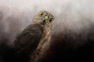 Photograph - Intent Sharp Shinned Hawk Art by Jai Johnson