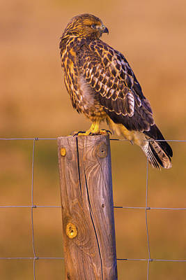 Photograph - Intermediate Morph Swainson's Hawk by John De Bord