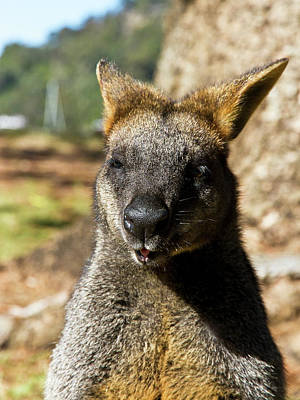 Photograph - Interview With A Swamp Wallaby by Miroslava Jurcik
