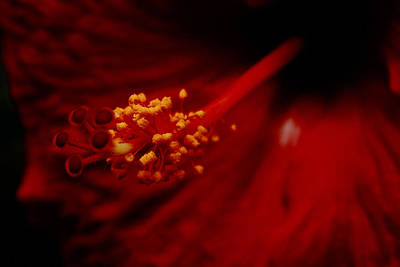 Photograph - Intimate Hibiscus by Roberto Aloi