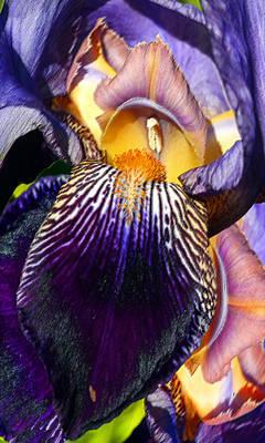 Photograph - Intimate Iris by Michele Avanti
