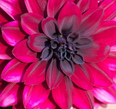 Photograph - Into The Dahlia by Terri Thompson