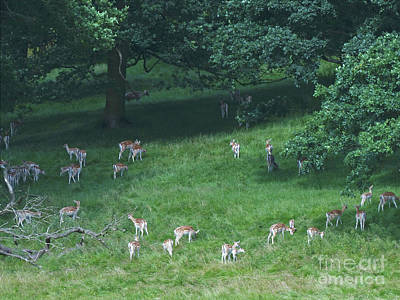 Photograph - Into The Forest - Fallow Deer by Phil Banks