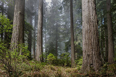 Into The Redwood Forest Art Print