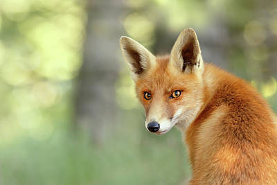Into Your Soul - Red Fox Looking Over Her Shoulder Art Print