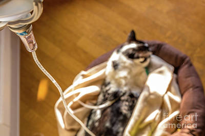 Photograph - Intravenous Drip Cat by Benny Marty
