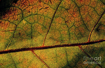 Intricate And Natural Patterns Of A Leaf During Autumn Art Print by Sami Sarkis