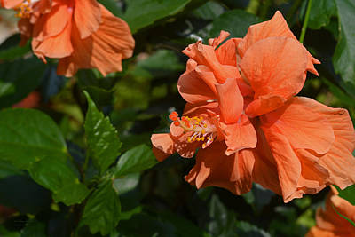 Photograph - Intricate Beauty. Apricot Hibiscus Flower by Connie Fox