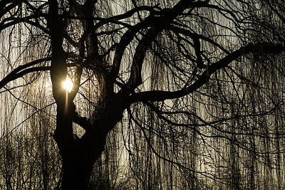 Photograph - Intricate Lacy Curtains - Sunrise Glow Through The Willows by Georgia Mizuleva