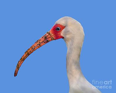 Art Print featuring the photograph Intriguing Ibis .png by Al Powell Photography USA