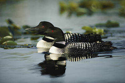 Common Loon Photograph - Introduction  Since 1983 Inexplicably by Michael S. Quinton