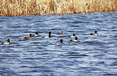 Lesser Scaup Photograph - Intruder Alert by Debbie Oppermann