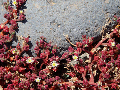 Photograph - Invasion - Common Ice Plant by Robert Schaelike