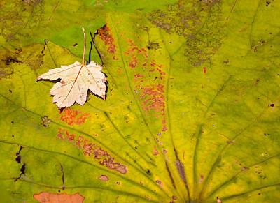 Photograph - Inverted Leaf On Lily Pad by Greg Jackson